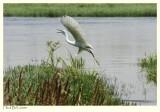White Heron taking off