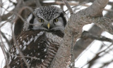 Northern Hawk Owl Banding 2009