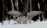 Hawk Owl on the Hunt
