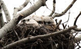 3 Great Horned Owlets