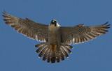 Birds-n-Bands & Peregrine Info Center