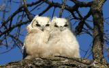 Great Horned Owls 2006