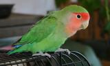 ...Peach Faced Love Bird...