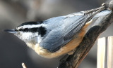 ...red-breasted nuthatch...