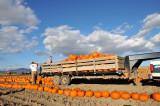 Pounds of Pumpkins