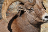 NEVADA BIGHORN SHEEP AND MOUNTAIN GOAT