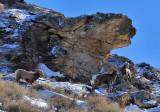 The Canyon Sheep . . .
