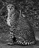 Cheetah Black and White IMGP2067.jpg