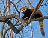 Red Panda IMGP1975.jpg