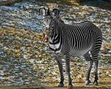 Zebra IMGP2085.jpg