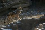 Mexican Wolf IMGP2014.jpg