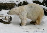 Polar Bear IMGP2193.jpg