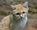 Sand Cat IMGP2299.jpg