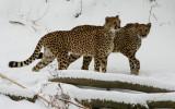 Cheetahs IMGP2241.jpg