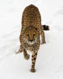 Cheetah Stalking IMGP2255.jpg