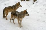 Mexican Wolves IMGP2741.jpg