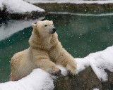 Polar Bear IMGP2808.jpg