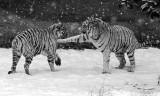 White Tigers IMGP2781.jpg
