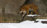 Malayan Tiger IMGP2634.jpg
