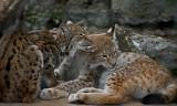 Eurasian Lynx IMGP2539.jpg