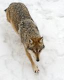 Mexican Wolf IMGP2661.jpg