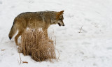 Mexican Wolf.... stalking...