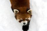 Red Panda IMGP2525.jpg