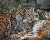 Eurasian Lynx IMGP2538.jpg