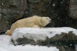 Polar Bear IMGP2819.jpg
