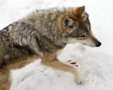Mexican Wolf IMGP2657.jpg