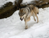 Mexican Wolf IMGP2680.jpg