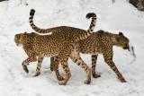 Cheetahs IMGP2639
