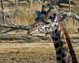 Giraffe IMGP2884.jpg
