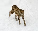 Cheetah in the snow IMGP2249.jpg