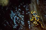 Yellow Poison Dart Frog IMGP1992.jpg