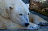 Polar Bear IMGP3057.jpg
