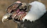 Andean Condor IMGP3004.jpg