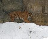 Malayan Tiger Snow aIMGP2569.jpg