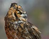 Great Horned Owl IMGP4230.jpg
