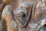 Eye of the Rhino IMGP4177a.jpg