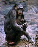 Bonobos IMGP4421a.jpg
