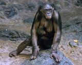 Bonobos IMGP4438a.jpg