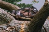 Bonobos IMGP4395.jpg