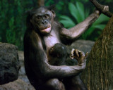 Bonobos IMGP4420a.jpg