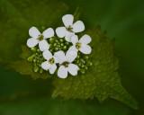 Wildflowers IMGP4580.jpg