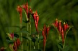 Spigelia marilandica - Indian Pink IMGP6305a.jpg
