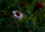Echinacea IMGP7262.jpg