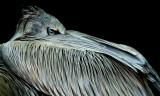 Pink-backed Pelican IMGP3715.jpg