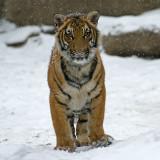 Malayan Tiger Cub IMGP4475.jpg