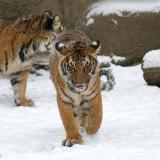 Malayan Tiger Cub IMGP4452.jpg